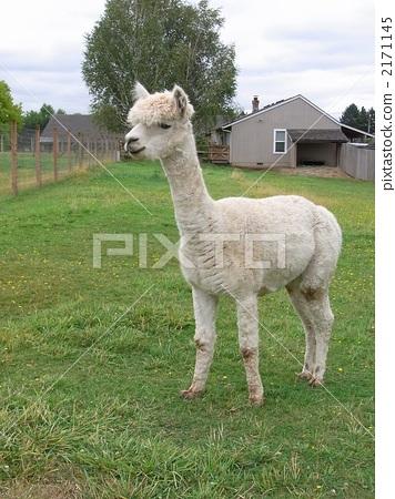 羊驼 动物群 动物宝宝