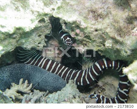 海鳝 有条纹的 咸水鱼