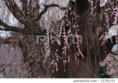 树枝低垂的樱花树 花 粉色