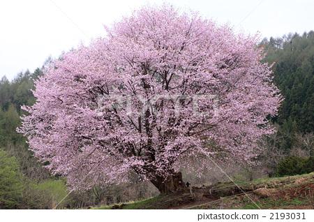 樱桃树 山桜 大山樱