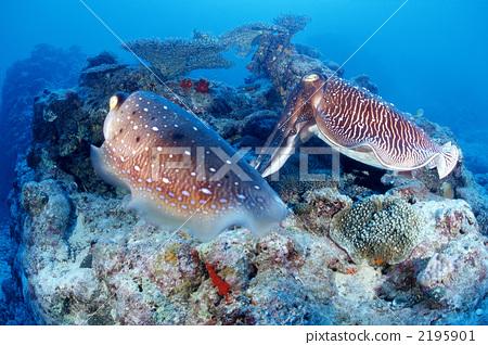 图库照片: 宽腕乌贼 海洋动物 金乌贼