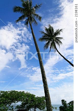 椰子树 棕榈树 景观