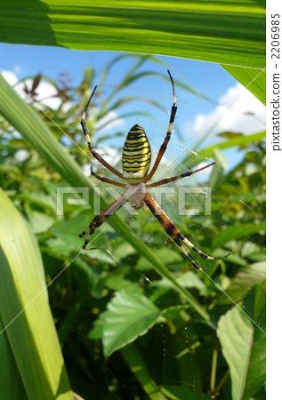 图库照片: 节肢动物 金蜘蛛 织网蜘蛛
