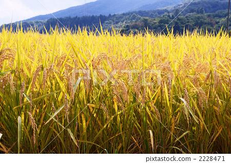 照片素材(图片): 丰收 水稻 稻穗