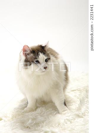 图库照片: 一只动物 白底 宠物