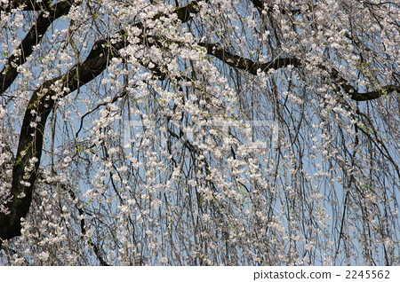 樱花 樱桃树 树枝低垂的樱花树