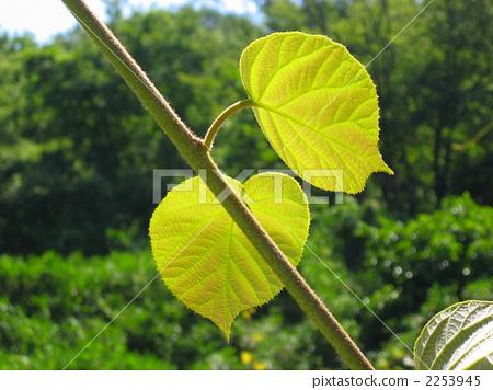 叶子 树叶 银杏叶