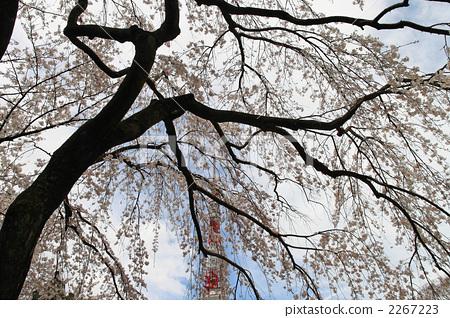 树枝低垂的樱花树 樱桃树 樱花