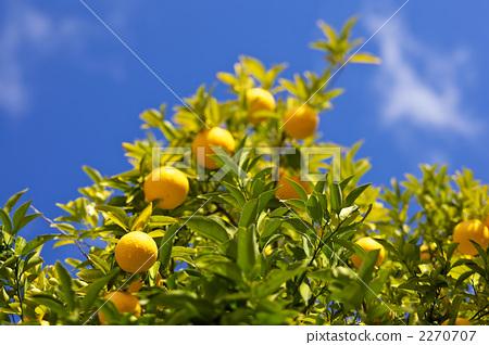 桔子 橘子 橘子树