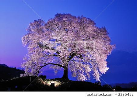 照片 植物_花 樱花 樱花 大树 夜樱 夜晚的樱花树  *pixta限定素材仅
