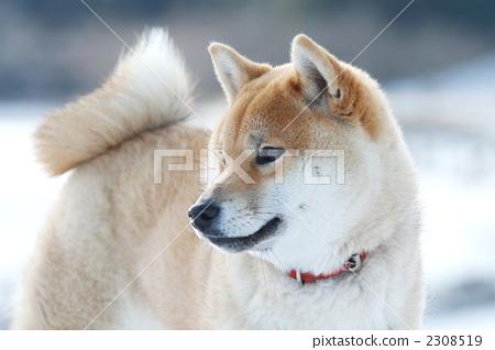 动物宝宝 丛林犬 柴犬