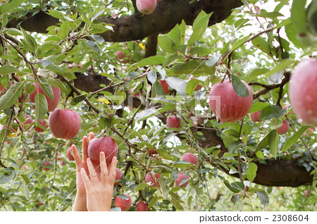 照片素材(图片): 摘苹果 手 果园