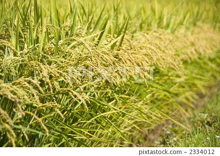 照片素材(图片): 稻穗 玉米 谷类