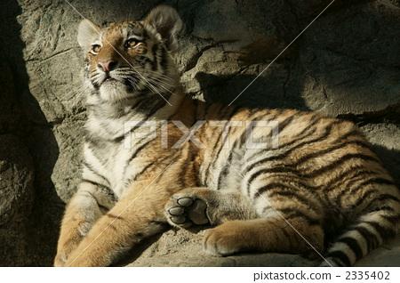 动物 陆生动物 老虎