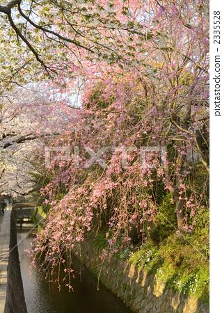 吉野樱花树 樱桃树 樱花-图库照片