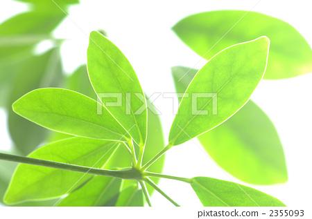 木棉 银杏叶 树叶