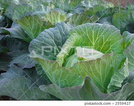 图库照片: 蔬菜 甘蓝 包菜