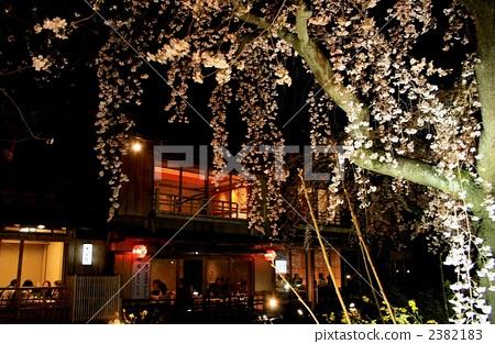 树枝低垂的樱花树 夜晚的樱花树 日式房屋