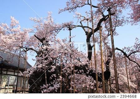 神代樱花 江户彼岸樱树 樱桃树