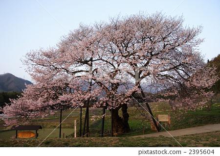 双层垂枝的玫瑰花蕾樱桃