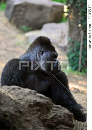 图库照片: 大猩猩 动物 猴子