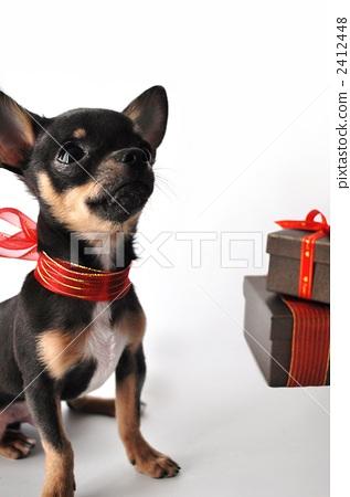 小型犬 吉娃娃 玩具狗