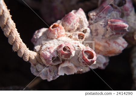 图库照片: 藤壶科 节肢动物 甲壳动物
