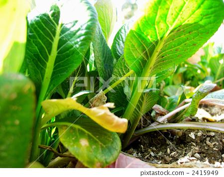 芥末植物手绘图