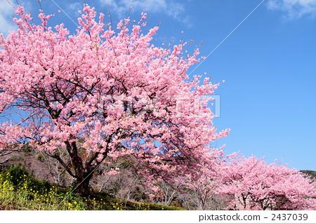 河津樱 川角樱桃花 一排樱桃树