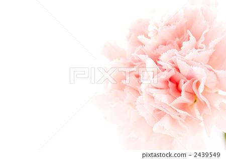 图库照片: 康乃馨 花朵 花卉