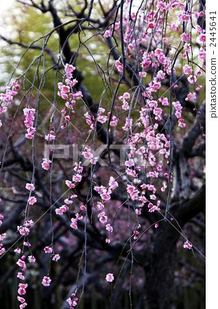 花朵 开花 树枝低垂的李树