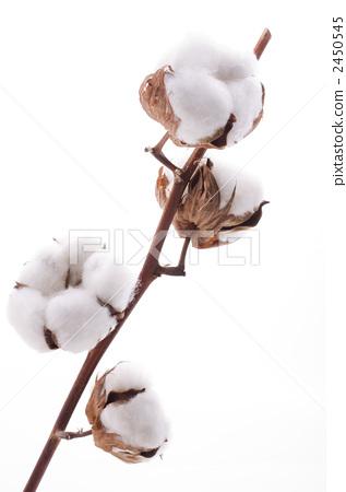 茅夫人手绘棉花