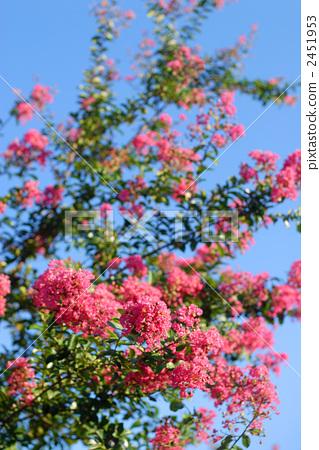 照片素材(图片): 紫薇 粉色 天蓝色背景