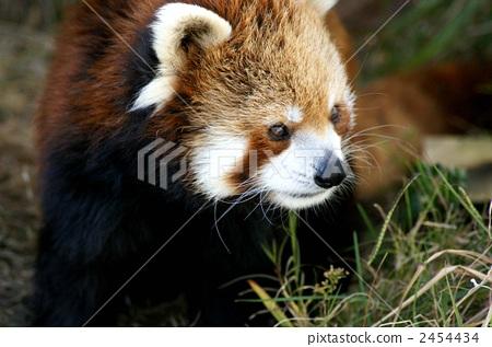 照片: 小熊猫 四川红熊猫 动物