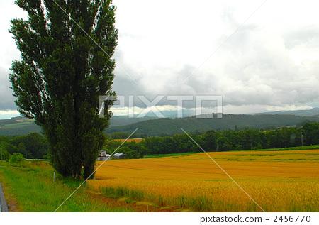 照片素材(图片): 田园 田园风景 小麦地