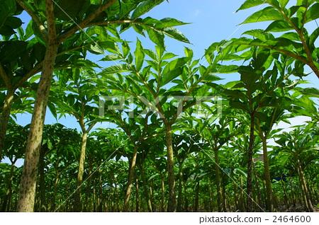 假山ps魔芋植物素材