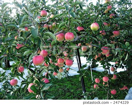 梦见挑苹果是什么意思