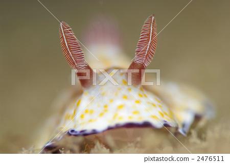 海参 海洋 海洋动物-图库照片 [2476511] - pixta