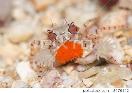 照片素材(图片): 海洋动物 甲壳动物 威胁