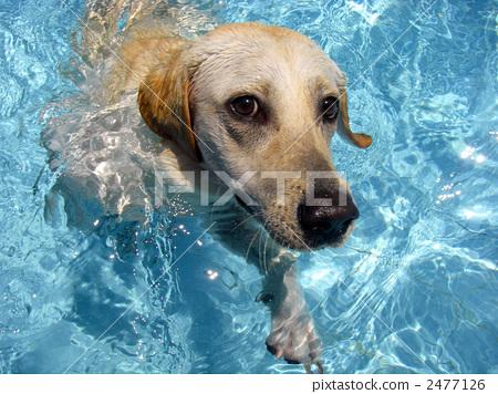 狗 拉布拉多半岛 游泳