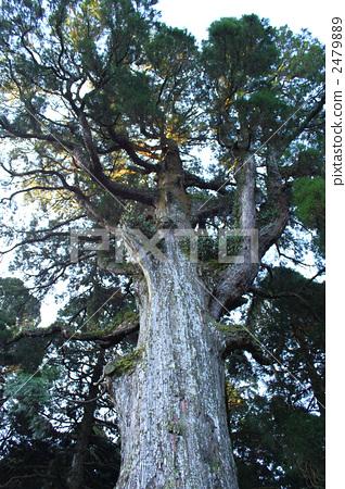 神木 日本柳杉 树木