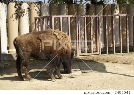 美洲野牛 陆生动物