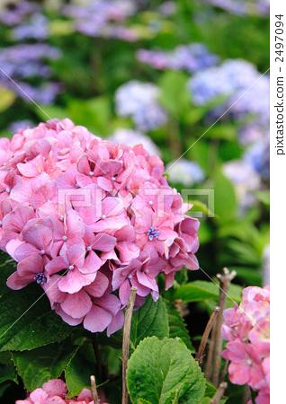 绣球花 粉色 盛开