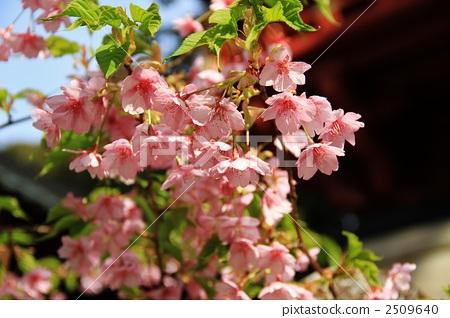 川角樱桃花 樱桃树 河津樱