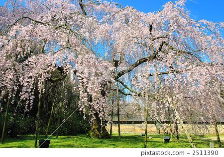 树枝低垂的樱花树 醍醐