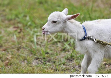 小山羊 侧面图 肖像