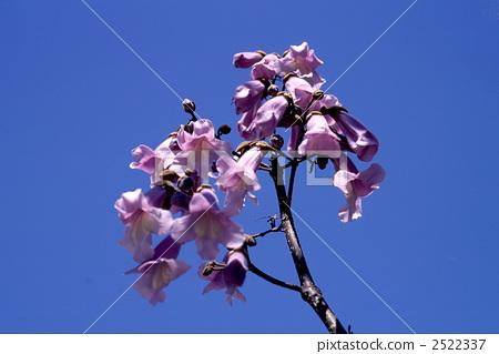 开花 泡桐树 2522337