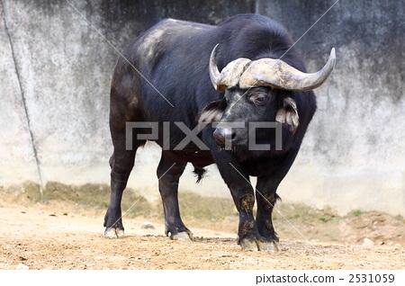 梦到牵水牛是什么意思