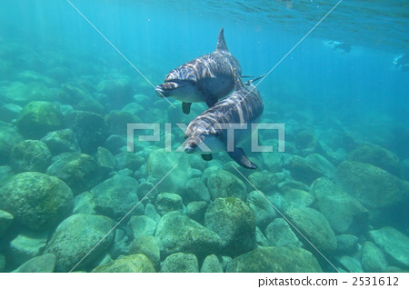 海洋动物 海豚 东方宽吻海豚