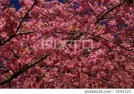 河津樱 花朵 樱桃树